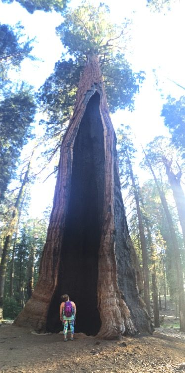 Staring up a hollow Redwoods Tree
